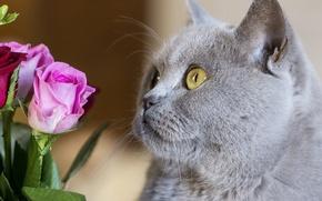 Picture cat, cat, face, flowers, roses, British, British Shorthair