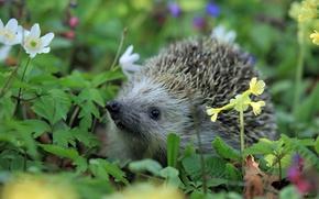 Wallpaper animal, grass, hedgehog, nature
