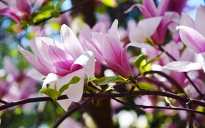 Picture spring, may, Sunny, Ukraine, Magnolia, The Botanical garden