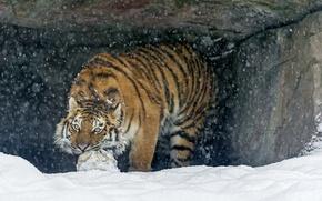 Picture cat, snow, tiger, the game, the ball, predator, the Amur tiger, ©Tambako The Jaguar