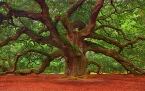Picture nature, tree, spreading tree