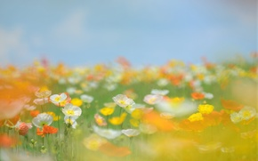 Picture tenderness, flowers, orange, stems, white, glade, blur, Maki, field, yellow, summer, the sky, grass