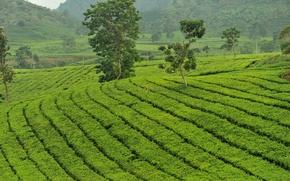 Picture greens, tea, island, the bushes, tea, Java, plantation tea, Java, tea plantation