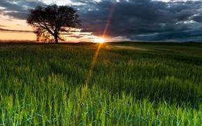 Wallpaper field, the sky, the sun, rays, nature, tree