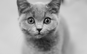Wallpaper look, muzzle, kitty, eyes, black and white, monochrome
