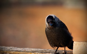 Picture nature, bird, jackdaw