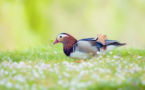 Picture field, flowers, bird, blur, duck, Tangerine
