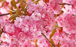 Picture pink, tenderness, spring, Sakura