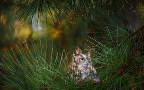 Picture forest, macro, needles, owl, bird, pine