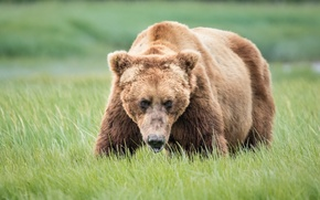 Picture face, bear, attention, grizzly