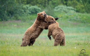 Picture fight, bears, Bruin