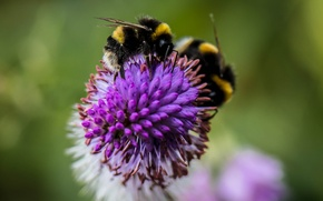 Picture flower, bumblebee, insect