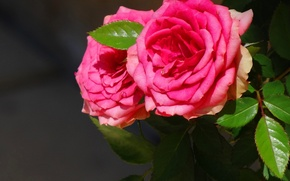 Picture leaves, roses, Two, pink