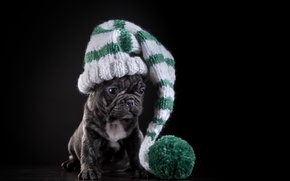 Picture hat, dog, puppy, French bulldog