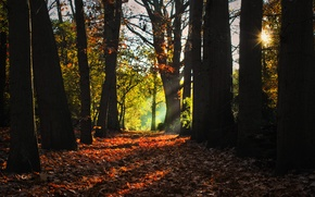 Picture rays, trees, morning, Autumn, falling leaves, grove, autumn