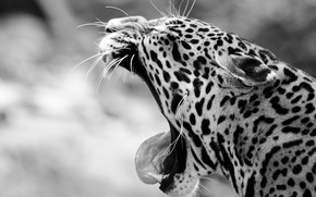 Picture language, face, mouth, fangs, Jaguar, black and white, wild cat, yawns