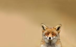 Wallpaper animal, smiling, Fox