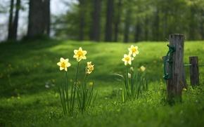 Wallpaper forest, summer, grass, glade, daffodils