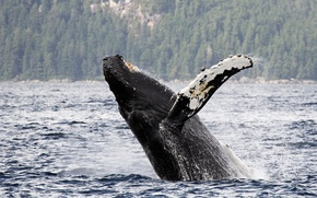 Picture water, Alaska, Alaska, long-armed whale, Gorbach, humpback whale, Chatham Strait, Chatham Strait