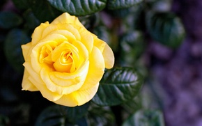 Picture flower, rose, petals, yellow