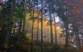 Picture autumn, forest, trees, fog, morning