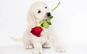 Picture photo, Rose, Dog, Puppy, Animals, Retriever