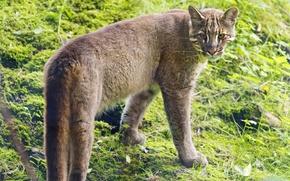 Picture cat, ©Tambako The Jaguar, Golden cat, tamminga