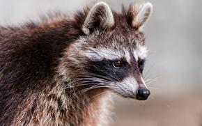 Picture look, animal, raccoon, ears