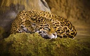 Picture cat, stay, lies, Jaguar