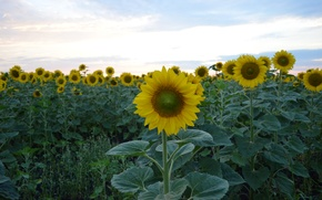 Picture field, the sky, grass, leaves, yellow, green, blue, petals, Sunflower