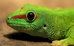 Picture green, eyes, Lizard