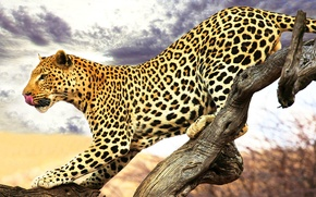 Picture language, leopard, profile, spotted, sneaks, a dry tree