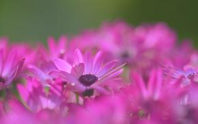 Picture macro, flowers, petals, blur, raspberry, Daisy