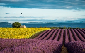 Picture summer, sunflowers, France, field, lavender, Provence, July