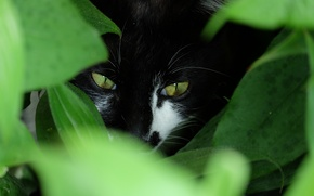 Picture greens, eyes, cat, look, Kote