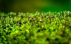 Picture drops, Rosa, plant, moss, bokeh