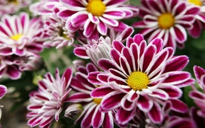 Picture Flowers, purple, yellow