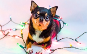 Picture lights, dog, garland, Chihuahua