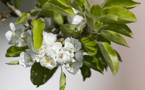 Picture leaves, flowers, branch, spring, flowering, Pear
