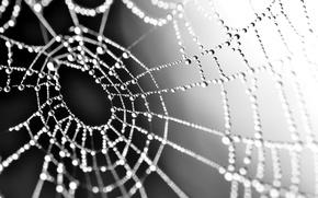 Picture drops, macro, Rosa, web, black and white, monochrome, gossamer
