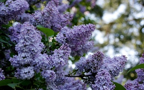 Picture spring, spring, blooming lilacs, blossoming lilac