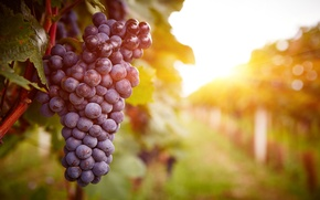 Picture sunset, grapes, plant, vineyard