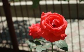 Picture Wallpaper, rose, petals, stem