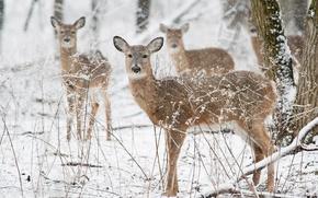 Wallpaper winter, deer, wildlife, snowing