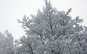 Picture Tree, Snow, Winter forest