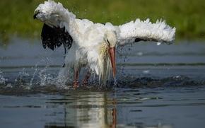 Picture water, bird, stork