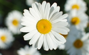 Picture flower, macro, flowers, chamomile, petals, Daisy