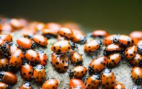 Wallpaper macro, ladybug
