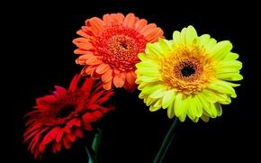 Picture macro, bouquet, petals, gerbera