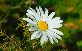 Picture flower, flowers, plant, Daisy